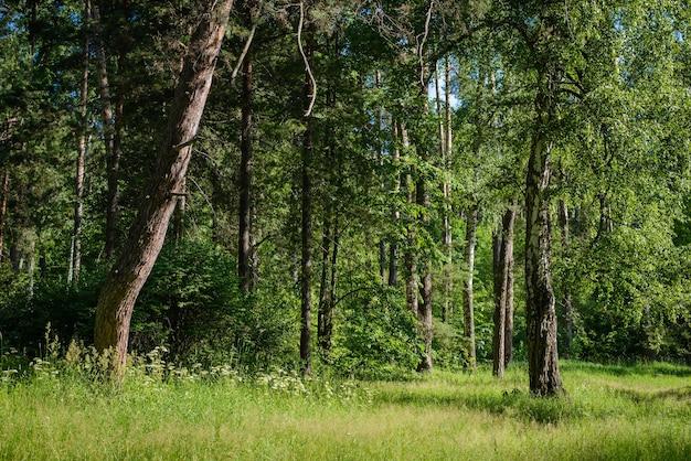 Красивый зеленый летний лесной пейзаж с поляной в солнечный день Premium Фотографии