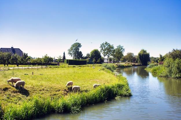 羊の放牧とオランダの美しい緑の夏の風景