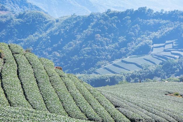 青い空と雲と美しい緑茶作物の庭の列のシーン