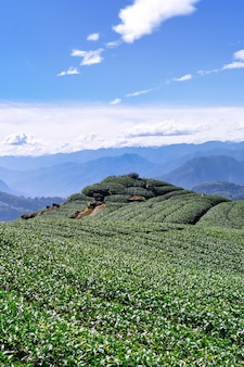 Beautiful green tea crop garden rows scene with blue sky and cloud, design concept for the fresh tea product background, copy space.