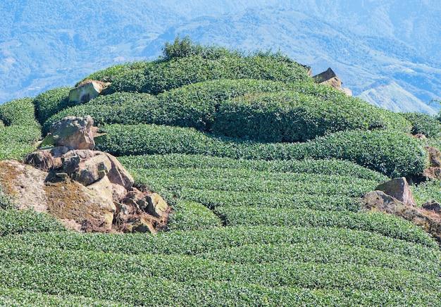 Beautiful green tea crop garden rows scene with blue sky and cloud