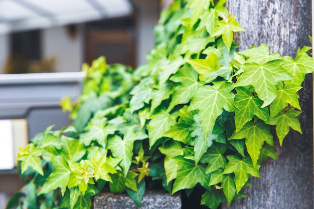 Beautiful green vine leaf creeping plant in japan city.