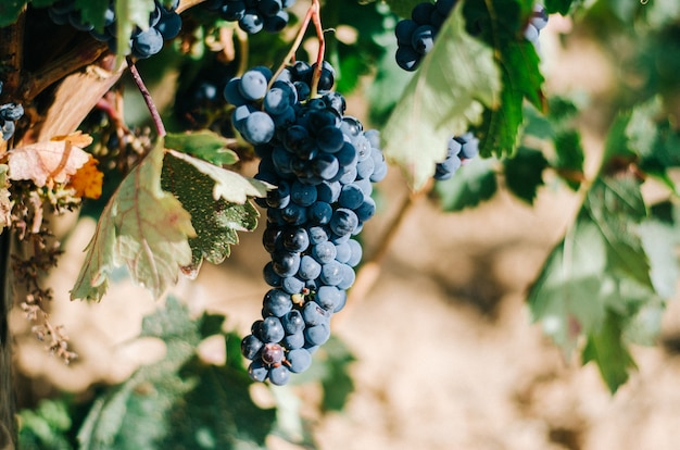 Красивый зеленый виноградник в испании