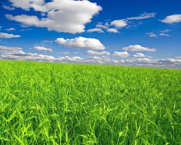 青い空の下の美しい緑の小麦