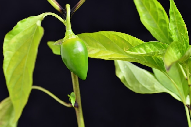 Beautiful green young hot pepper