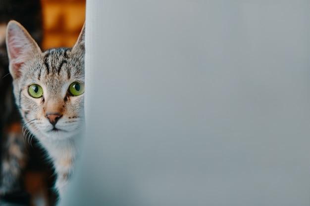 아름 다운 녹색 고양이 근접 촬영 국내 애완 동물은 낮에 얼룩 고양이의 카메라 초상화를보고 있습니다 ...