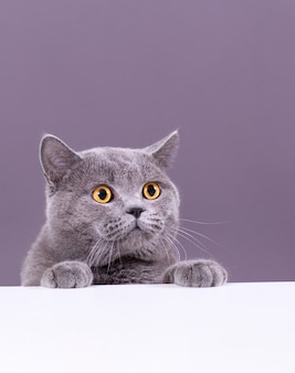 Beautiful grey british cat peeking out from behind a white table