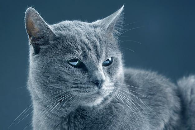 Beautiful grey cat on dark background. pet mammal animal predator