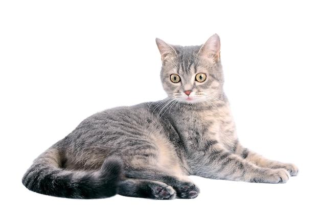 Красивый серый кот в лежачем положении. удивленный взгляд.