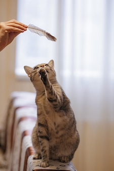 A beautiful grey cat is sitting on the sofa, playing with a feather and looking at a h ostess. cat games. playful and funny animal. idea and concept of what quarantine will do at home