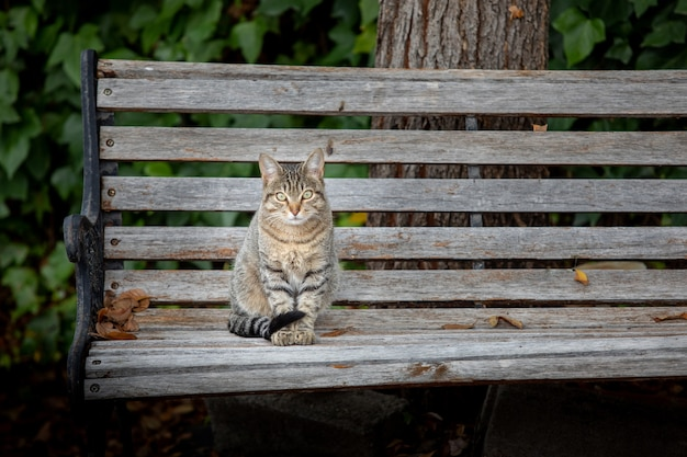 Beautiful grey cat resting on a bench looking at camera