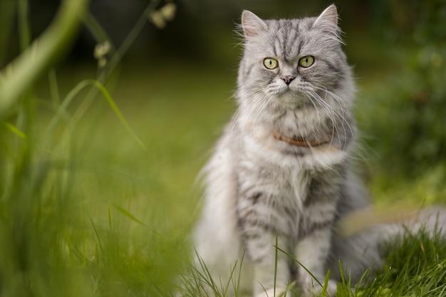 Красивый серый пушистый кот сидит на траве в саду