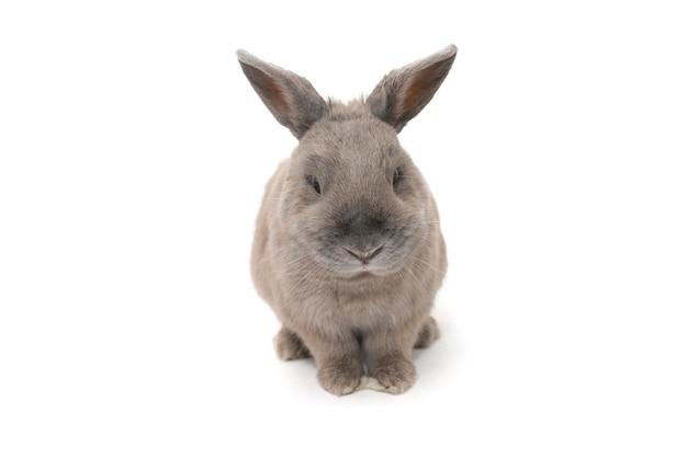 Красивый серый кролик сидит и мигает, изолированные на белом фоне