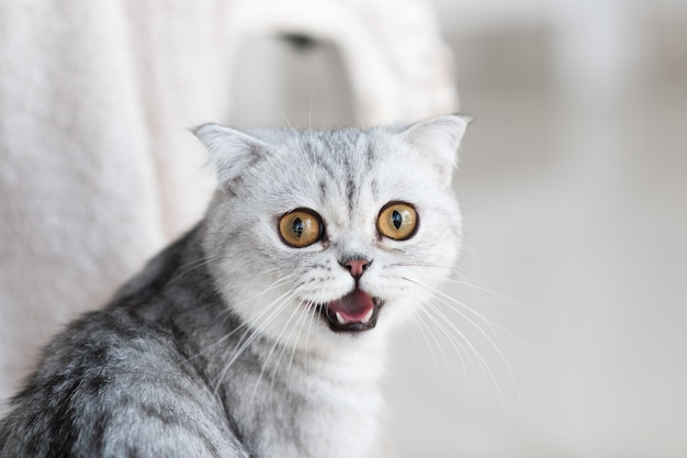 Красивая серая табби-кошка с желтыми глазами стоит на белом фоне