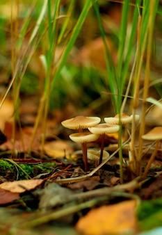 Красивая группа коричневых лесных грибов. крупный план