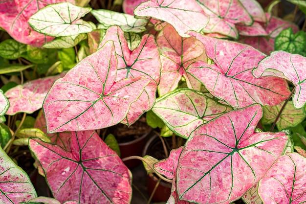 Красивый растущий розовый двухцветный каладиум фон