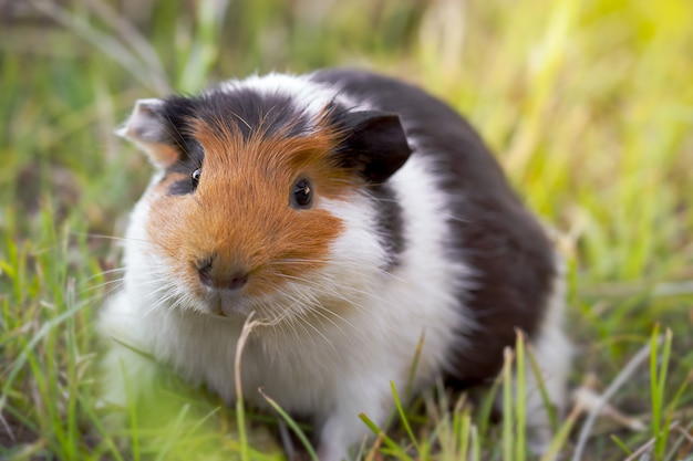 Beautiful guinea pig is gnawing grass in the pasture and morning sunlight.