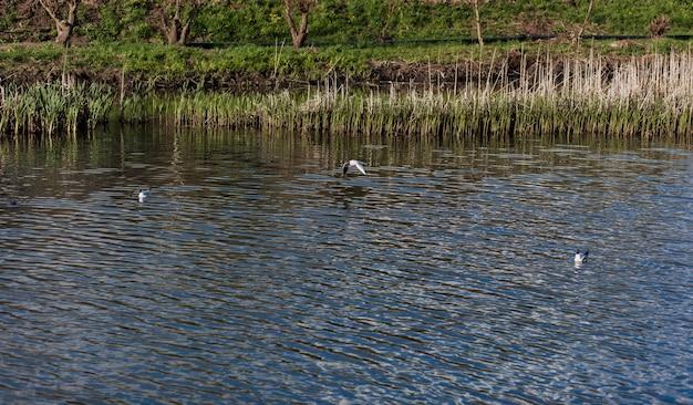 Красивая чайка пролетает над рекой в парке