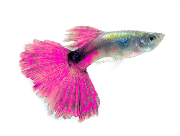 Beautiful guppy isolated on black space