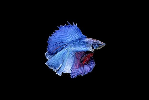 美しい半月の青と赤のベタの素晴らしさ、シャムの戦いの魚、または水族館のタイの人気のある魚のプラカット。