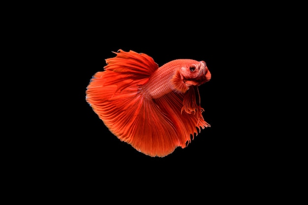 美しい半月の赤いベタの素晴らしさ、シャムの戦いの魚、または水族館のタイの人気のある魚のプラカド。