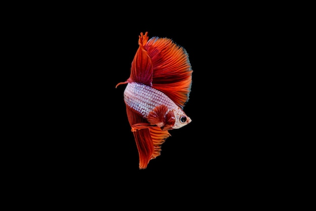 Beautiful half moon red betta splendens, siamese fighting fish or pla-kad in thai popular fish in aquarium.