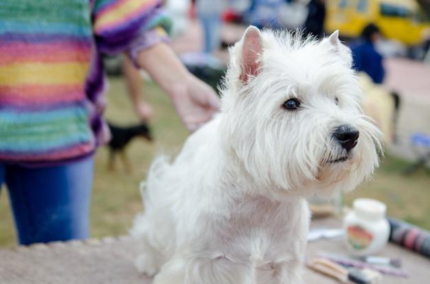 美しく健康な犬のウエスト・ハイランド・ホワイト・テリアが展示会の準備をし、ホストの近くに座っています。