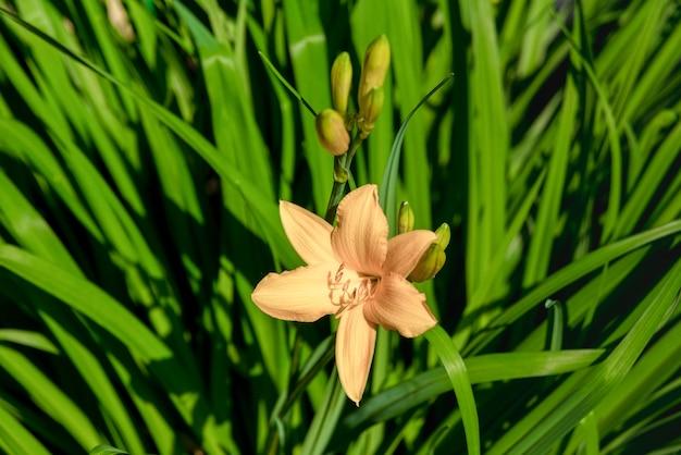 Красивый гемерокаллис, желтый цветок