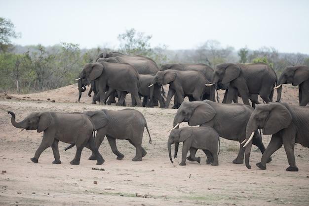 Bellissimo branco di elefanti africani