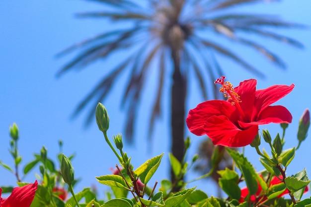 熱帯のヤシと空の背景に美しいハイビスカスの花。