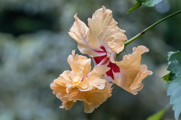 Beautiful hibiscus flowers in the garden.hibiscus rosa-sinensis flower known as chinese hibiscus.