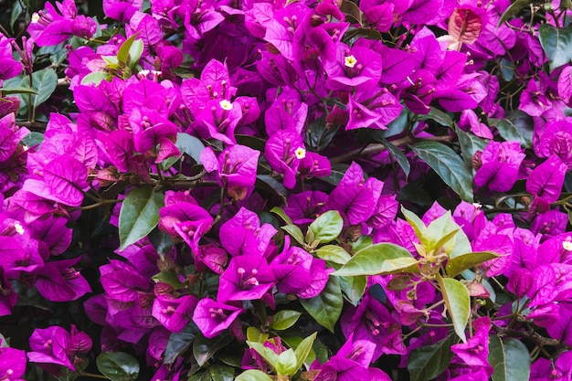 Beautiful high angle shot of bougainvilleas