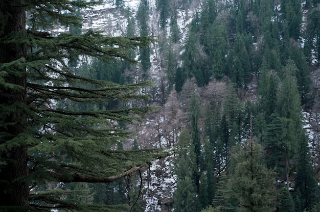 Beautiful high evergreen pine trees in the forest in winter