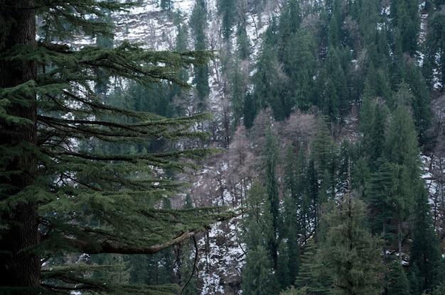 겨울 숲에서 아름다운 높은 상록 소나무