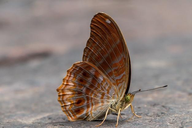 自然の中の石の上の美しいヒマラヤの小さなヒョウ蝶 Premium写真