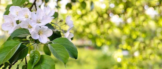 Красивый горизонтальный весенний зеленый фон с цветущей яблоней