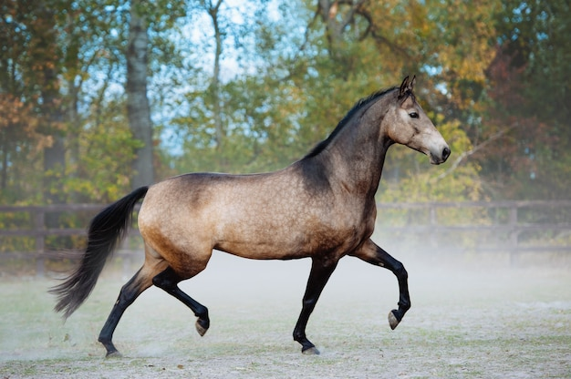 Beautiful horse trotting in a paddock on a background of dust