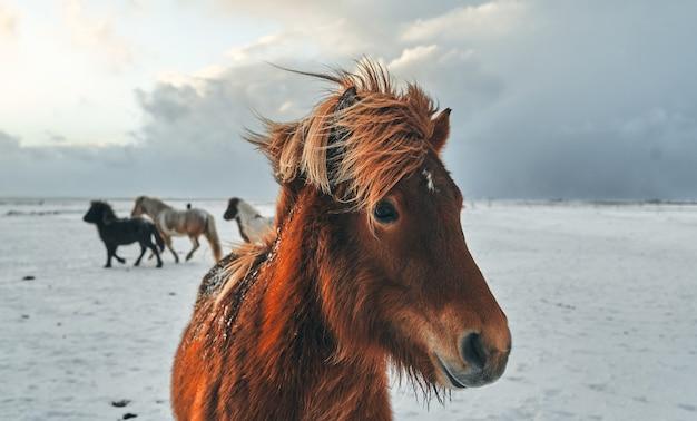 雪に覆われた牧草地で放牧している美しい馬。