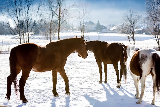 Beautiful horses on highland field covered by snow
