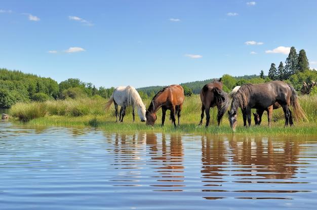 Beautiful horses near a lake