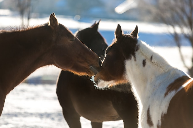 Beautiful horses pasturing on field covered by snow