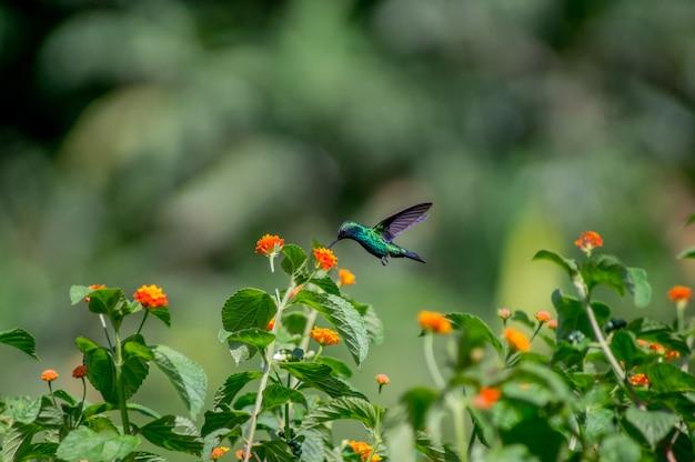 Красивая колибри питается нектаром цветов