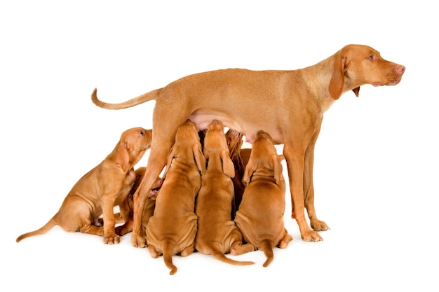 白い表面で子犬を母乳で育てる美しいハンガリーのビズラのお母さん
