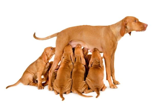 Bella mamma ungherese vizsla che allatta i suoi cuccioli su una superficie bianca