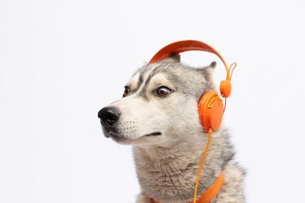 Красивая собака хаски с наушниками, изолированные на белом фоне