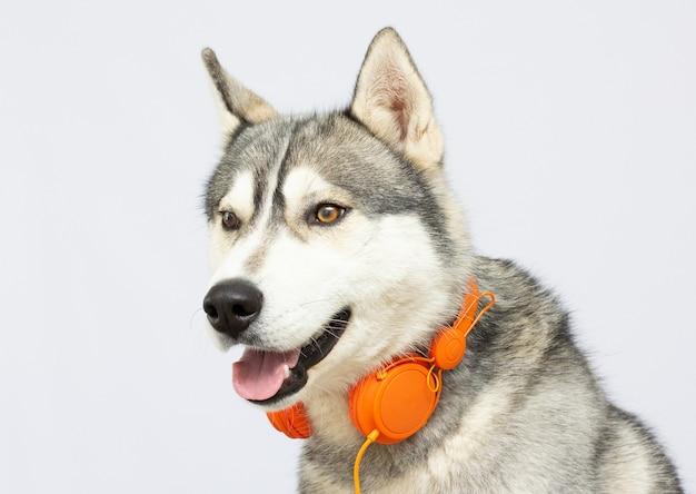 Красивая хаски собака с наушниками, изолированные на белом фоне