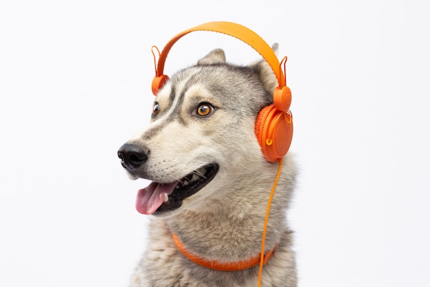 Beautiful huskies dog with headphones isolated on white with copy space banner
