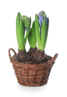 화이트에 아름 다운 히아신스 식물
