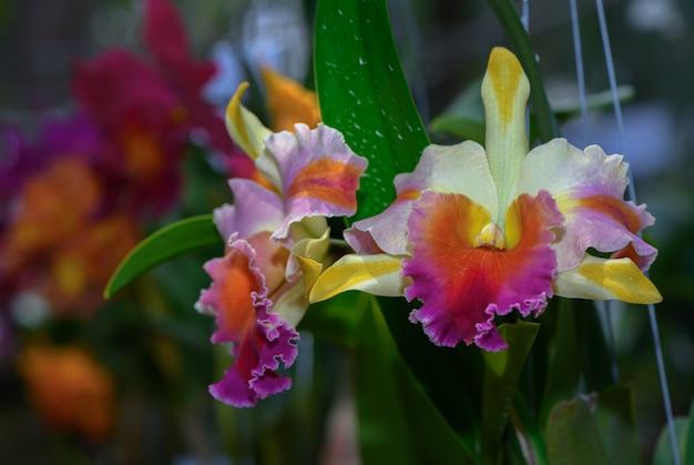 美しいハイブリッドcattleya flower orchid