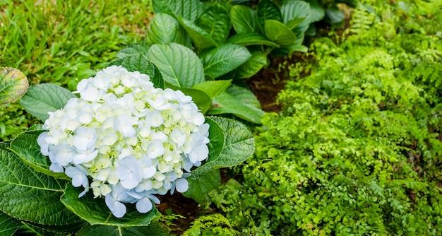 美しいアジサイやアジサイの花、アジサイmacrophyllaが庭に咲いてクローズアップ